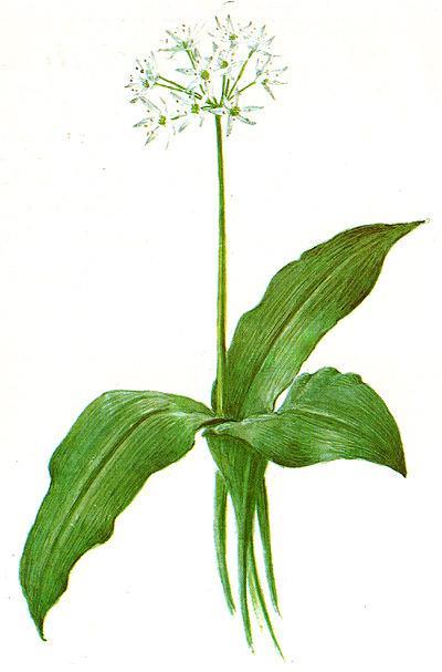 черемша, медвежий лук (Allium victoriale, Allium victorialis), рисунок, картинка