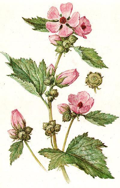 алтей лекарственный, лекарственный алтей, просвирник, проскурняк (Althaea officinalis), рисунок, картинка