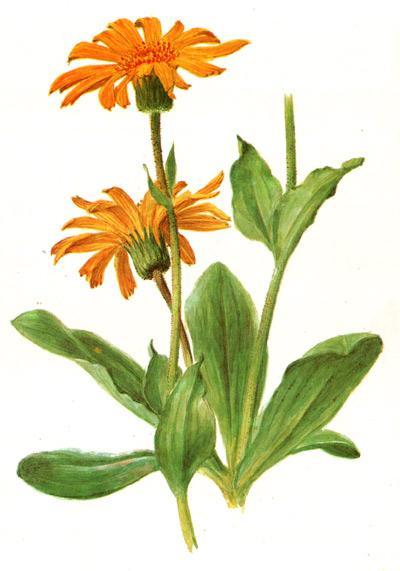 арника горная, горный баранник, горляшная трава, баранья трава (Arnica montana), рисунок, картинка