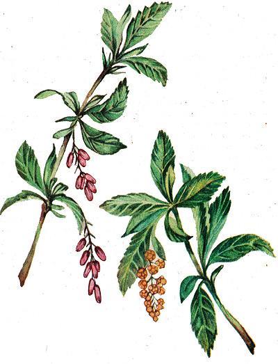 барбарис обыкновенный, обыкновенный барбарис (Berberis vulgaris), рисунок, картинка