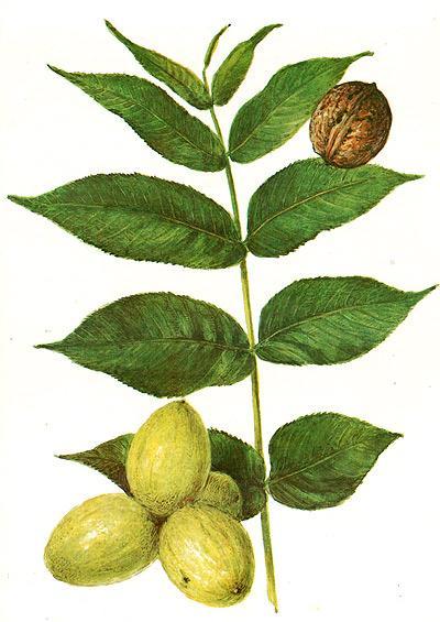 орех грецкий, орех волошский (Juglans regia), рисунок, картинка