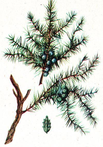 можжевельник обыкновенный, обыкновенный можжевельник (Juniperus communis), рисунок, картинка