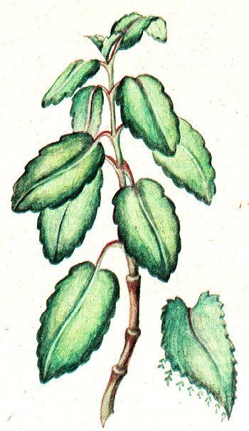 каланхоэ перистое, доктор, каланхоэ древовидное (Kalanchoe pinnata), рисунок, картинка