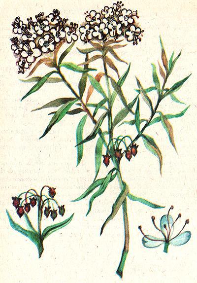 багульник болотный, багун душистый, розмарин лесной, клоповник большой, клоповая-трава, болотная одурь, бачно, головолом (Ledum palustre), рисунок, картинка