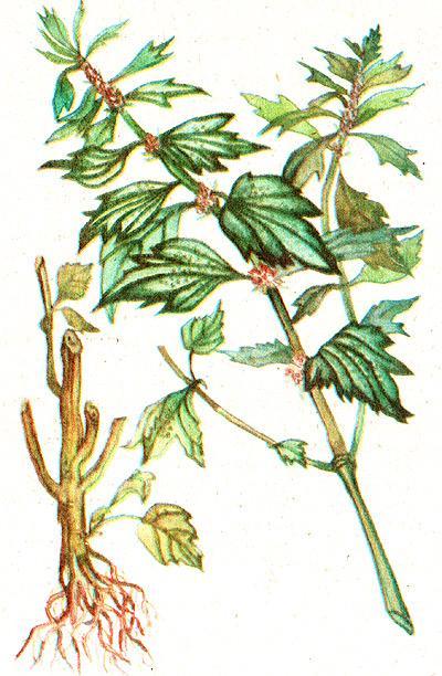 пустырник пятилопастный, глухая крапива, сердечная трава, собачья крапива, сердечник (Leonurus guinguelobatus), рисунок, картинка