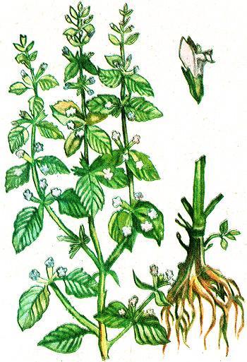 мелисса лекарственная, мята лимонная (Melissa officinalis), рисунок, картинка