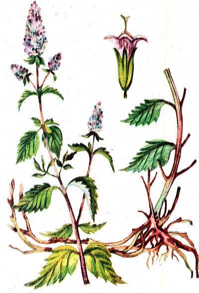 мята перечная, перечная мята (Mentha piperita), рисунок, картинка