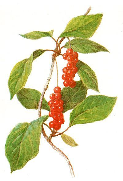 лимонник китайский, китайский лимонник (Schizandra chinensis), рисунок, картинка
