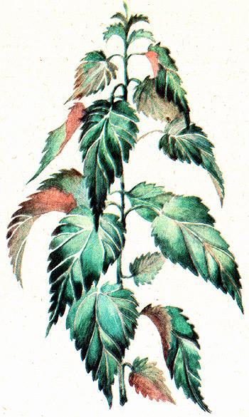 крапива двудомная, жалива, жгучка, стрекава, жегала, двудомная крапива (Urtica dioica), рисунок, картинка