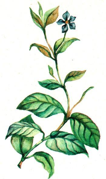 барвинок малый, барвинок, зеленка, гробная трава, могильник (Vinca minor), рисунок, картинка