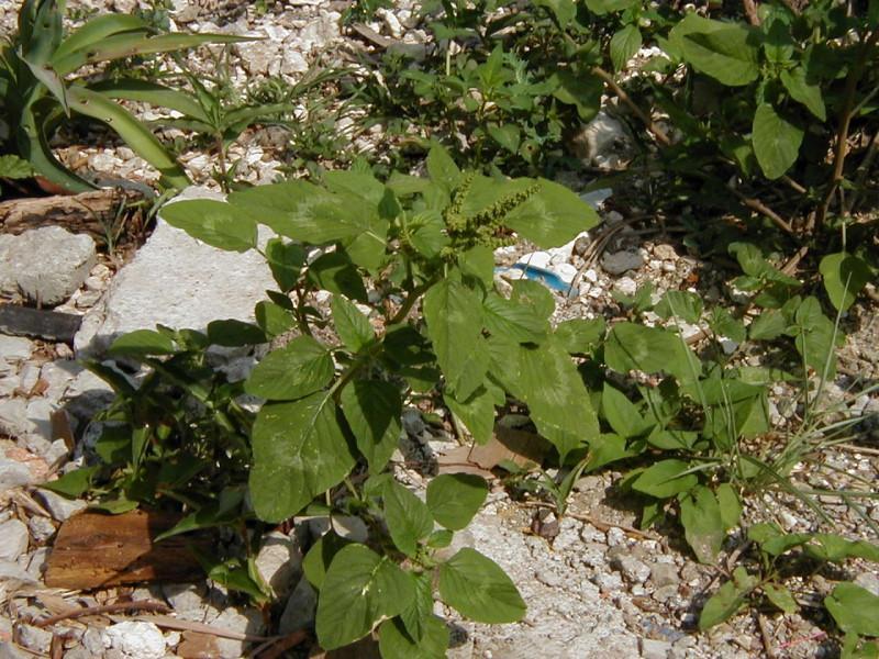 Амарант (щирица) – Amaranthus L.